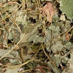 Truskawka liść