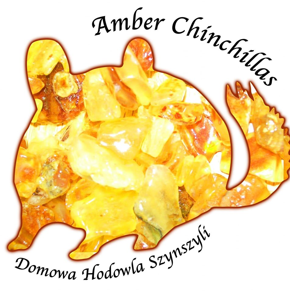 Amber Chinchillas